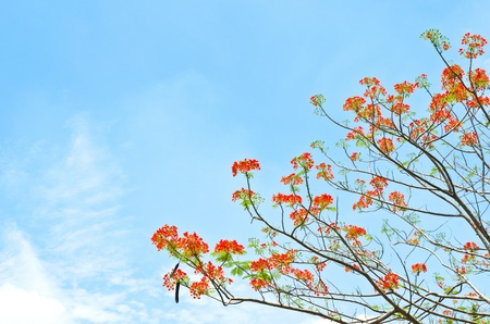Peacock flowers on poinciana tree and blue  sky photo