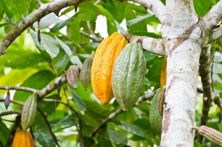 Kakaofrucht im Baum - in Bali, Indonesien Schuss
