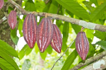 Kakao-Früchte im Baum - in Bali, Indonesien Schuss