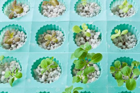 soilless cultivation: soilless or hydroponic Stock Photo