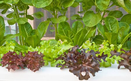 soilless or hydroponic Stock Photo - 14722838