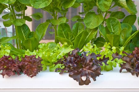 soilless or hydroponic Stock Photo - 14722827
