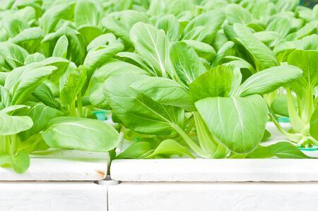 green leaf of soilless or hydroponic vegetable photo