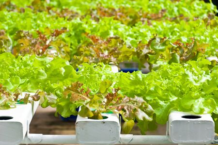 soilless cultivation: soilless or hydroponic on shiny morning Stock Photo