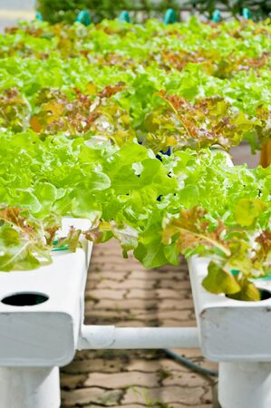 soilless or hydroponic on shiny morning Stock Photo - 14992796