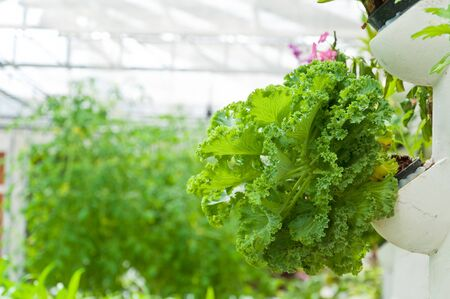 soilless or hydroponic on shiny morning Stock Photo - 15231757