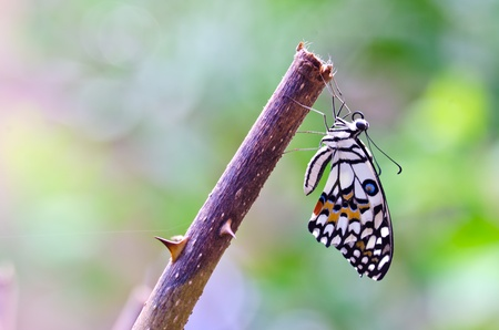 transmute: Mariposa monarca, Mania algodoncillo, beb� nacido en la naturaleza mantenga en la rama