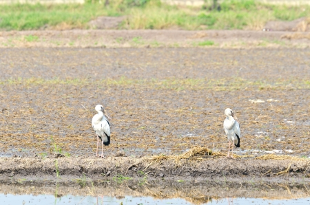 chilika: Two egrets standing in tropical grassland