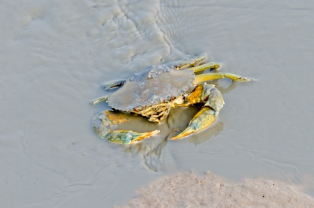 watercourse: Sea Crab in watercourse waiting for food