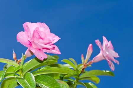 Desert rose and blue sky background photo