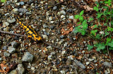 salamandra: Salamander