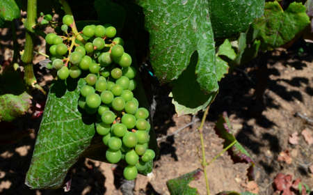 maturation: Grapes in maturing