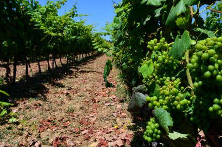 maturing: Grapes in maturing