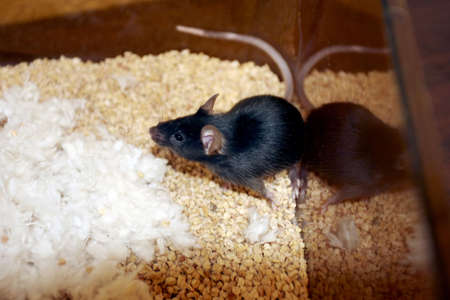 the experimental: Black Lab mouse in an experimental cage with feed underneath it Stock Photo