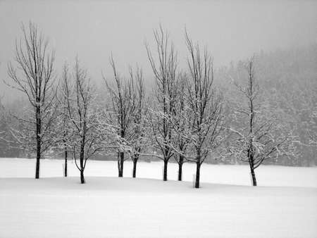 midst: Snow covered trees in a midst of a blizzard, horizontal