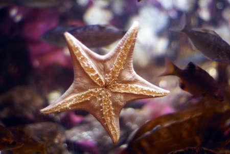 saltwater pearl: Sea star on aquarium wall stuck to the glass