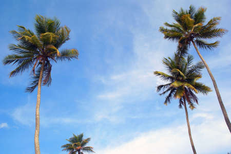 Palm trees and sky seen from below wide Stock Photo - 3674640