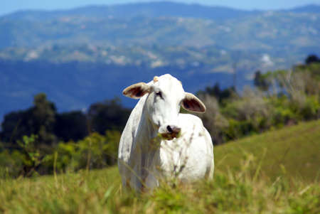 White cow on a pasture in Pierto Rico Highlands horizontal photo