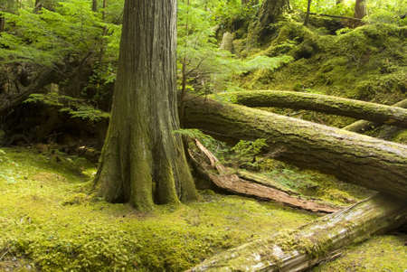 Temperate rainforest and undergrowth in Strathcona Provincial Park Vancouver Island British Columbia Stock Photo - 4380703
