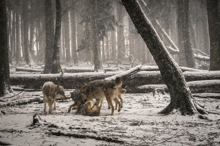 some wolves playing in the snow Redactioneel