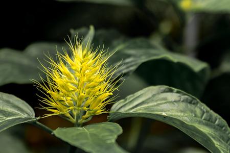 yellow thorny flower