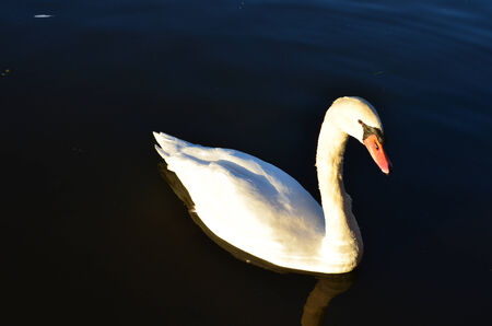a white swan resting in the lake
