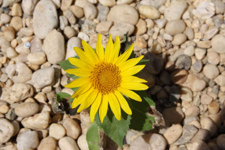 Sunflower out of stones