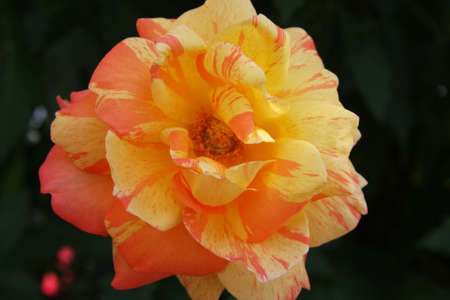yellow pink rose photo