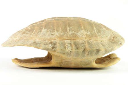 imminent: whole shell of turtle isolated in white background