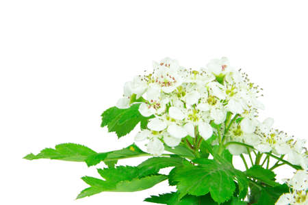 close up of hawthorn blossom isolated on white background Stock Photo