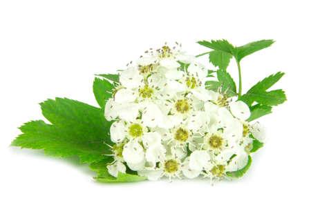 Nahaufnahme von Weißdornblüten isoliert auf weißem Hintergrund