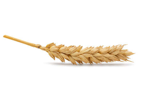 cleaned: Perfect Cleaned Dried Wheat Ear Isolated on White Background in Full Depth of Field Stock Photo