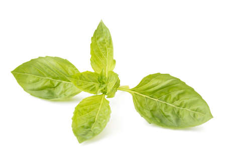 Close up of a perfect holy basil isolated on white background.