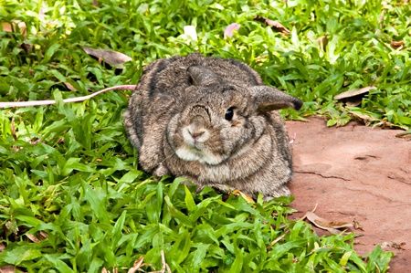 Chestnut (medium brown color) holland lop rabbit in the garden photo