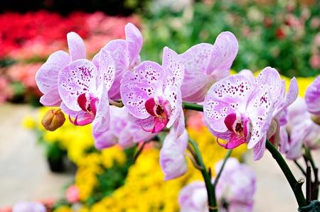 Beautiful bunch of purple orchid- Phalaenopsis photo