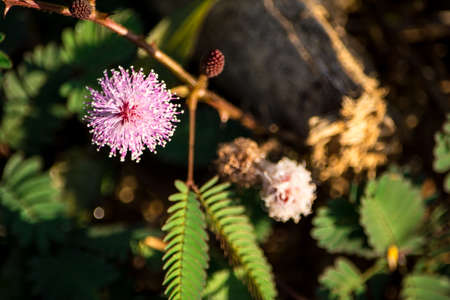 fabales: Mimosa pudica and its flowers