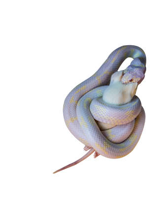 albino king snake feeding on dead rat clipping path included