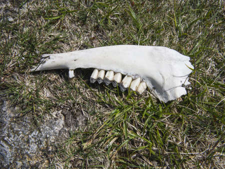 sheep jaw bone