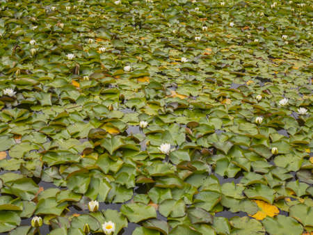 lily pads in bloom on a lake surface