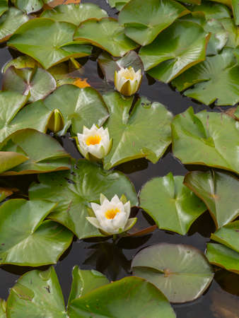 water lilies on a lake they are in flower