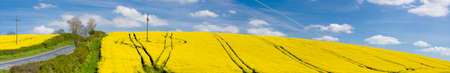 panorama of a yellow field with deep blue sky and white clouds Stock Photo