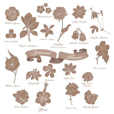 magnolia soulangeana: Botanical flowers