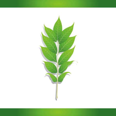 amur: Amur corktree leaf