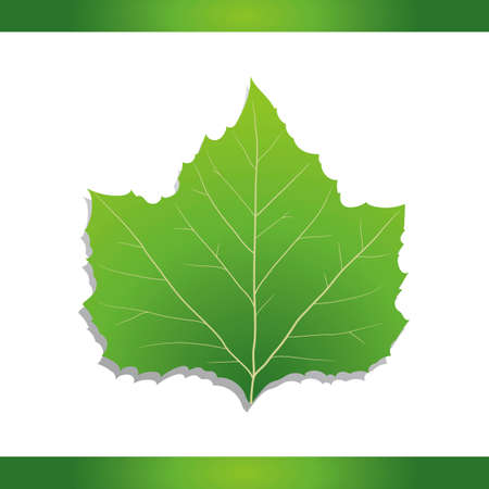 プラタナス: アメリカンシカモア葉  イラスト・ベクター素材