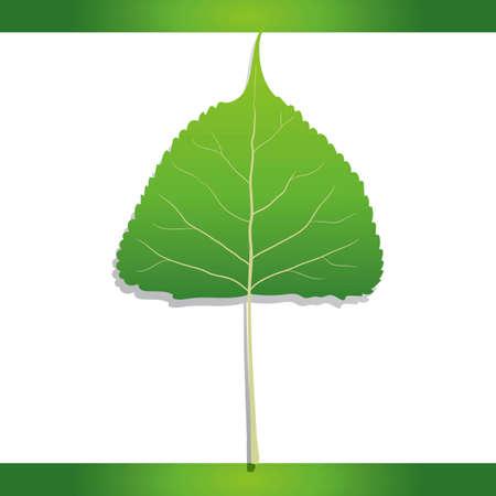 cottonwood tree: Eastern cottonwood leaf