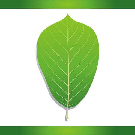 magnolia tree: Yulan magnolia leaf