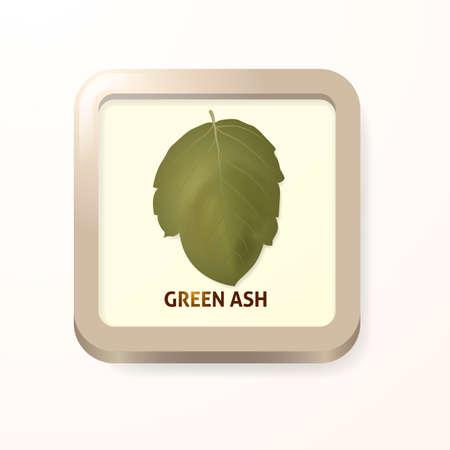 ash: Green ash leaf Illustration