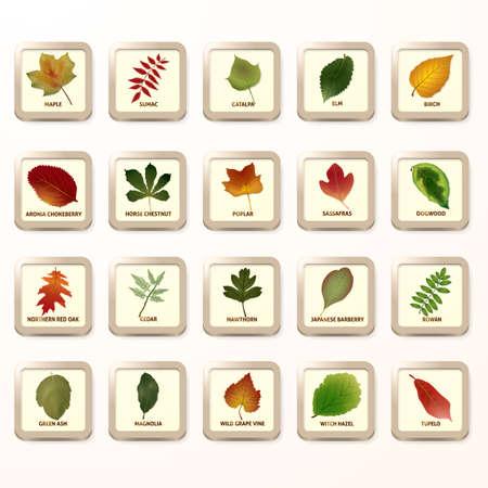 chokeberry: Set of leaves