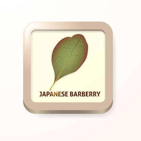 barberry: Japanese barberry leaf