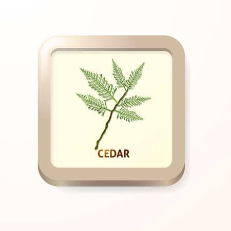 cedro: Cedar hoja